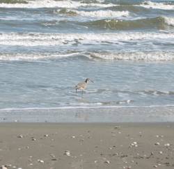 a bird wading in the Gulf surf at Galveston Island State Park