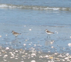 birds on the Gulf beach at Galveston Island