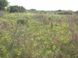 an overabundance of woody vegetation in what should be an open grassy plain, Galveston Island State Park